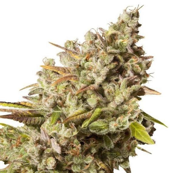 Kwiat CBD Royal Gorilla 16,1% CBD